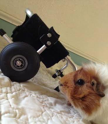 Cavia Estella met haar rolstoeltje - verlamde cavia