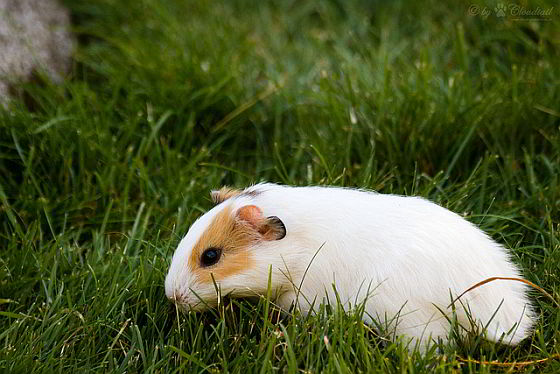 cavia - cavia's en konijnen voor dierproeven