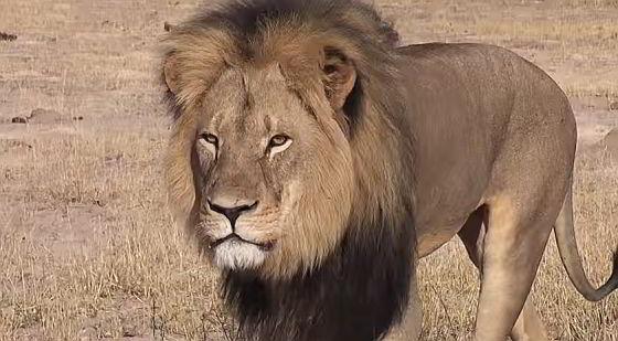 Cecil, de koning van Hwange National Park wildreservaten
