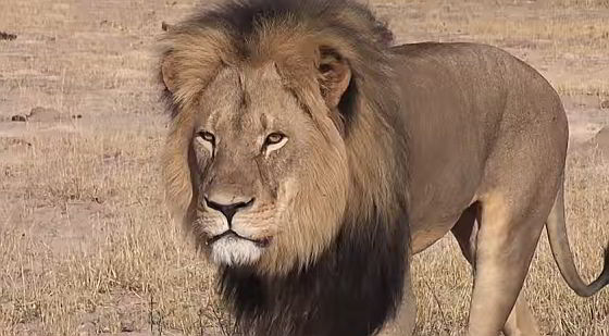 Cecil, de koning van Hwange National Park