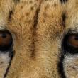 Maatregelen tegen handel in cheeta's