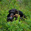 De veranderde houding van mensen ten opzichte van chimpansees