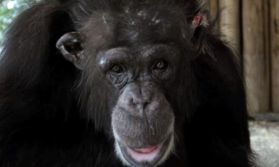 Chimpansee Bini