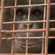 Stichting AAP redt chimpansee na 22 gevangenschap op Canarische Eilanden