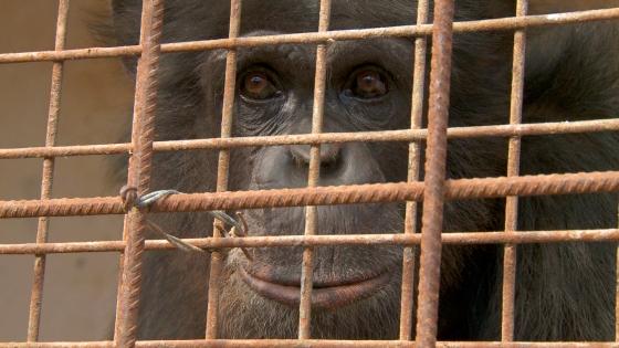 chimpansee macario