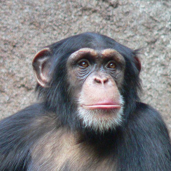 Chimpansee - dierendag