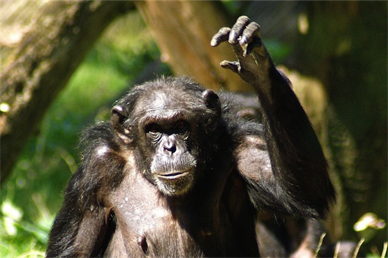 chimpansee - modetrends