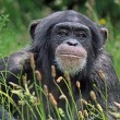 Personen verdienen mensenrechten: ook chimpansees