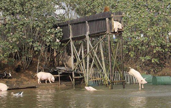 Chinese varkensboer