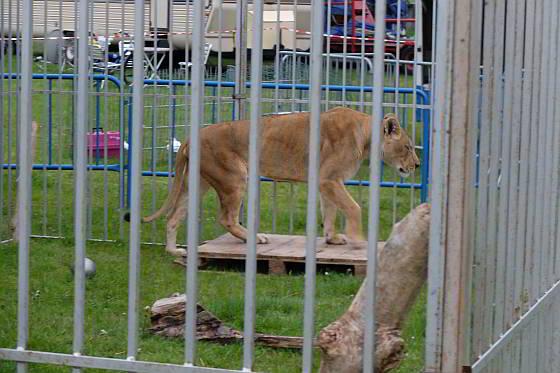 Circus Renz Berlin - magere leeuwin