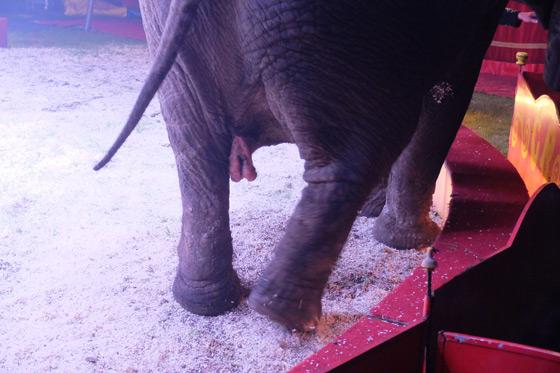 Circus Renz Berlin - olifant - geslachtsdelen