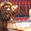 Catalonië verbiedt circussen met wilde dieren