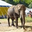Circus overtreedt regels met uitlaten olifant Buba
