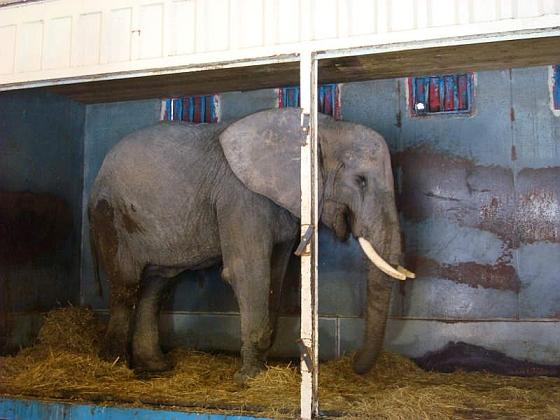 Circusolifant Betty
