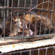 WSPA: UTZ wil niet langer koffieproducenten certificeren die dieren misbruiken