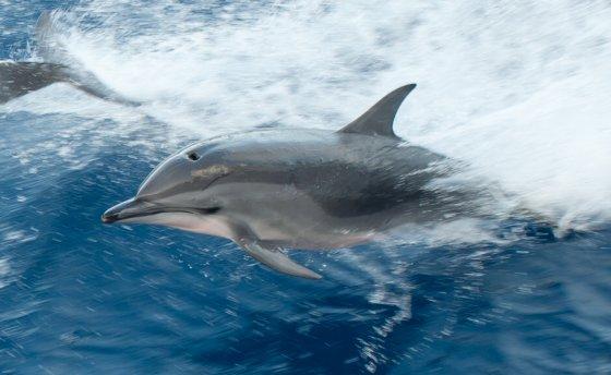 clymeneedolfijn