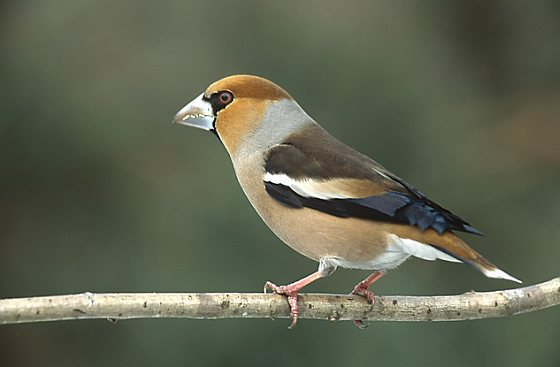 Cultuurvogel - appelvink