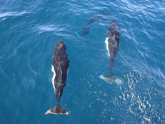 bruinvisslachting