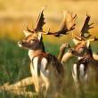 Ook damherten Nationaal Park Zuid-Kennemerland vogelvrij verklaard