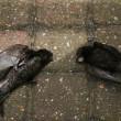 Dode gierzwaluwen bij project Stroomversnelling