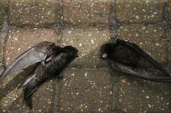 dode gierzwaluwen Stroomversnelling