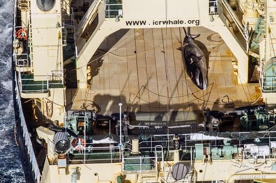 commerciële walvisjacht