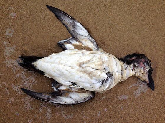 Dode zeevogel