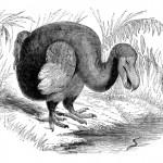 Dodo - uitsterven