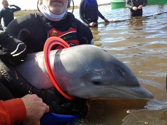 Dolfijntje met Aerobie