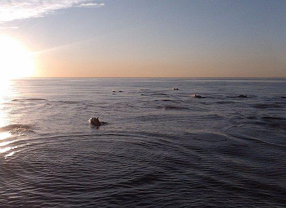 Dolfijnen in de Grote Oceaan - wereldwijde oceanen