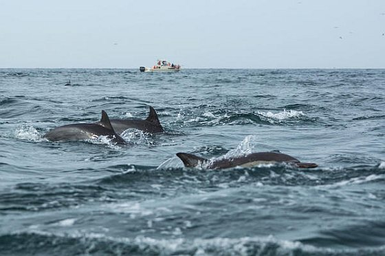 Dolfijnen Peru