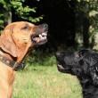 Bert van Straten: Hondendominantie is een feit, geen mythe