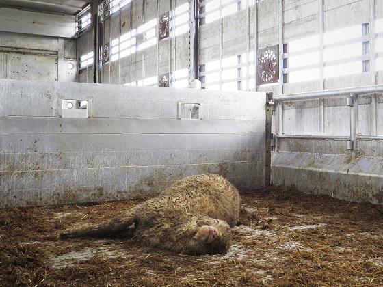dode schapen