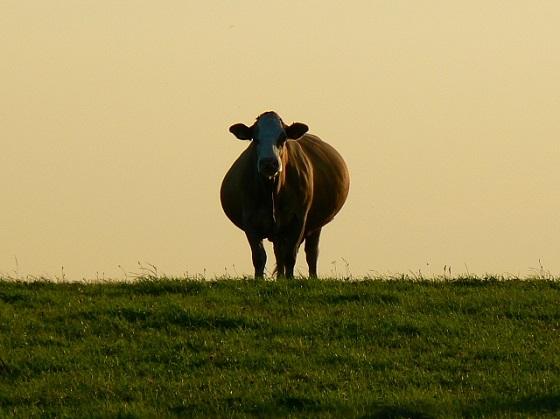 drachtige koeien