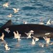 Discussie over nut van onderzoek naar walvissen