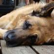 Hond doodgeschoten tijdens wandeling in bos