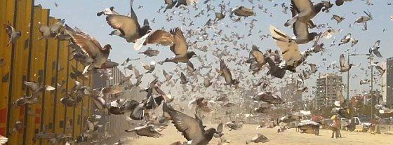 Loslaten van de duiven