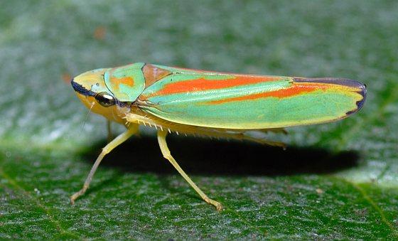 Dwergcicade