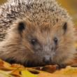 Beschermd natuurreservaat voor egels in Groot-Brittannië