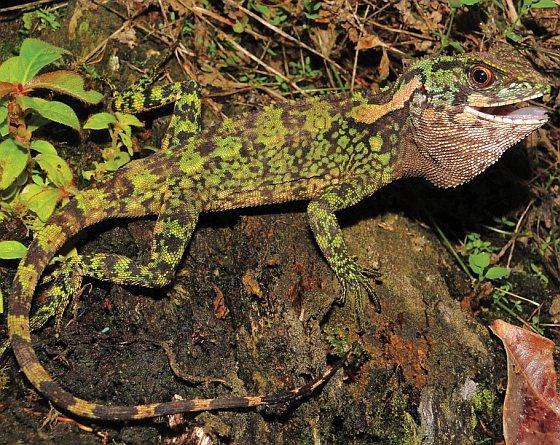 Enyalioides azulae - nieuw soort hagedis - dinosaurus