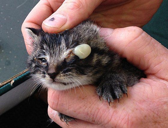 Ernstig verwaarloosd kitten