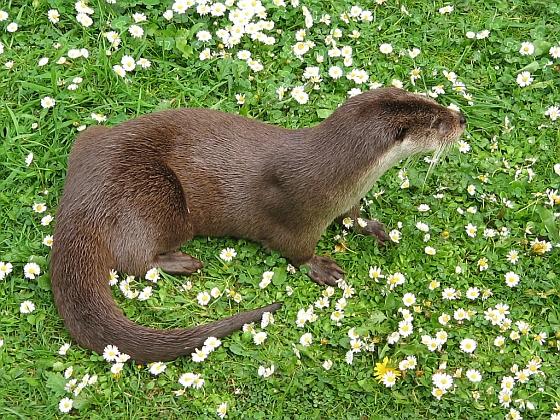 Europese otter