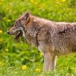 Meer wolven in Nederland?
