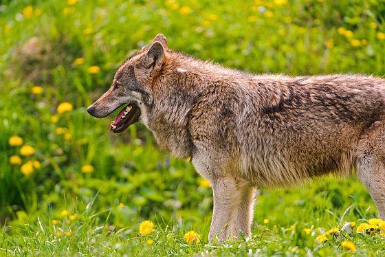 Europese wolf - wolven in Nederland