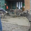 Ingezonden brief: Een ezel is geen ding