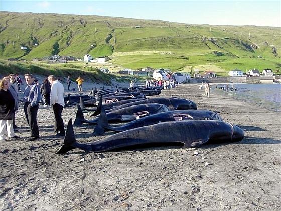 Faeröer eilanden grienden