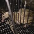Euralis dwangvoedert massaal eenden voor foie gras (video)