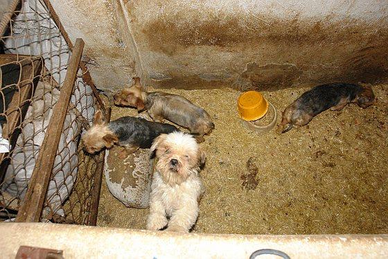 Fokkerij - puppyhandelaren