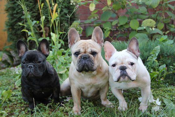Franse bulldog fokken