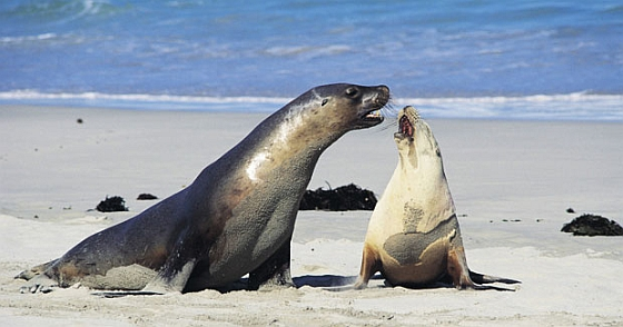 Fur seals op Kangaroo Island